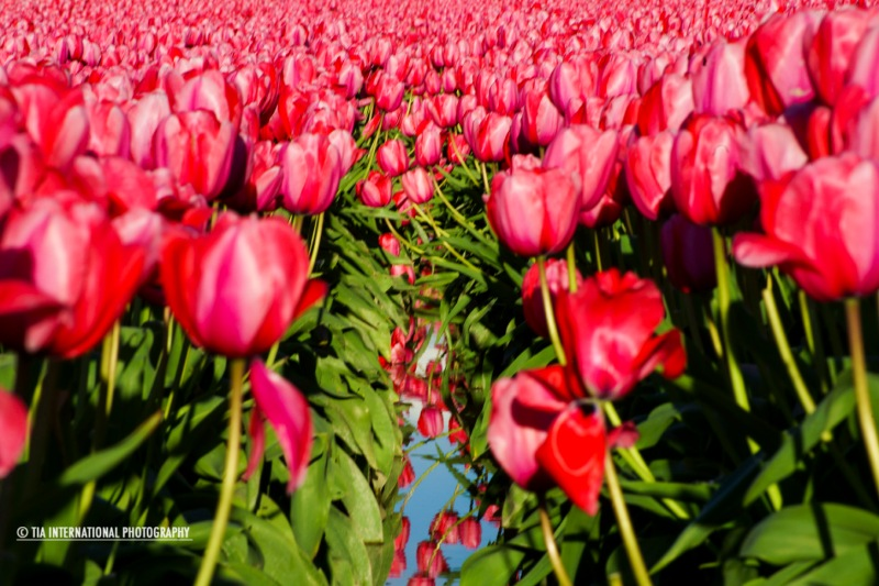 Tulip Festival 2013.  Skagit County, Washington State.